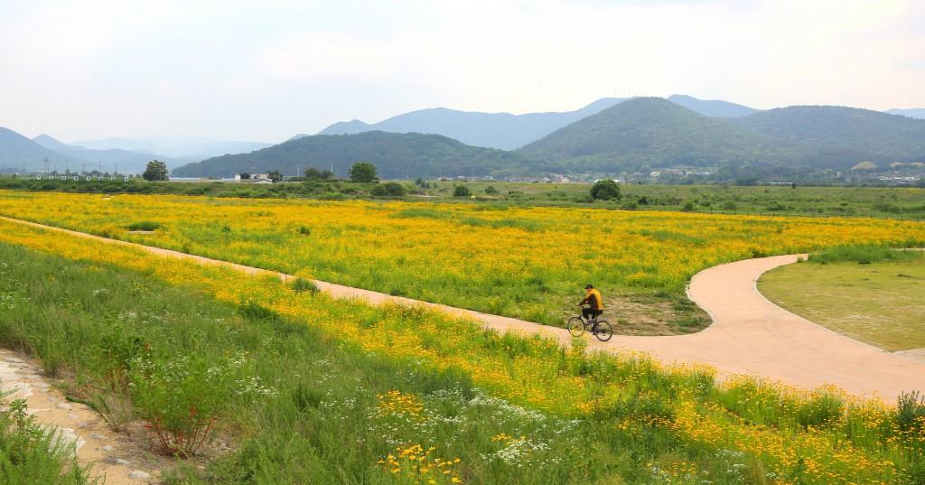 2. 경주 형산강변 샛노란 금계국 꽃물결 장관(형산강변 금계화) (1)
